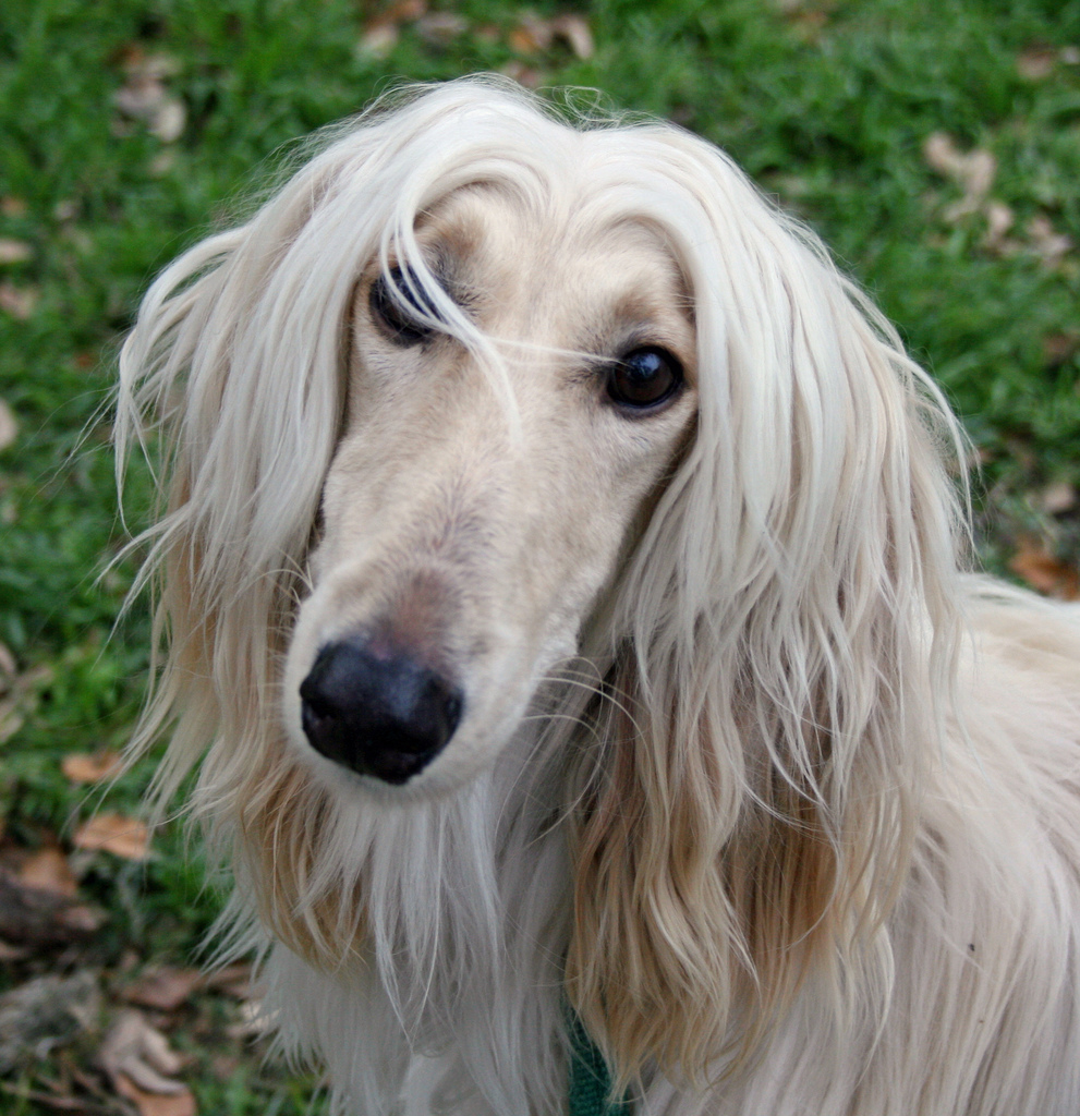Afghan Hound  Miracle Paws